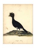 Yellow-Knobbed Curassow, Crax Daubentoni, Male Giclee Print by C. Hayes