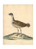 Great Bustard, Otis Tarda, Male Vulnerable Giclee Print by William Hayes