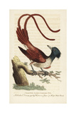 Asian Paradise Flycatcher, Terpsiphone Paradisi Giclee Print by George Edwards