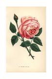 Souvenir D'Un Ami Rose, Hybrid Tea Rose Giclee Print by Francois Grobon