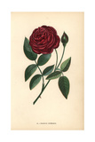 Cramoisi Superieur Rose, Hybrid Rosa Chinensis Giclee Print by Francois Grobon
