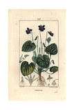 Sweet Violet, Viola Odorata Giclee Print by Pierre Turpin