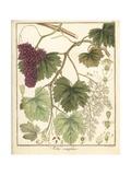 Grape Vine, Vitis Vinifera Giclée-Druck von F. Guimpel