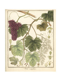 Grape Vine, Vitis Vinifera Giclee Print by F. Guimpel