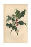 Holly with Flowers and Berries, Ilex Aquifolium Impression giclée par Rebecca Hey