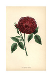 Docteur Jamain Rose, Hybrid Rose Giclee Print by Francois Grobon
