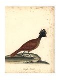 Great Curassow, Crax Rubra, Female Giclee Print by Matilda Hayes