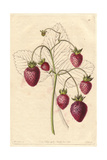 Prolific Hautbois Strawberry, Fragaria X Ananassa Giclee Print by Augusta Withers