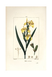 Yellow Iris, Iris Palustris Lutea Giclee Print by Pierre Turpin