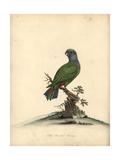 Blue-Headed Parrot, Pionus Menstruus Stampa giclée di Matilda Hayes