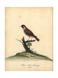 Red-Billed Quelea, Quelea Quelea Giclee Print by William Hayes