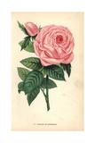 Baronne De Rothschild Rose, Hybrid Giclee Print by Francois Grobon