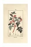 Hert Robert, Geranium Robertianum Giclee Print by Pierre Turpin