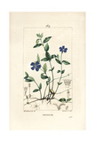 Lesser Periwinkle, Vinca Minor Giclee Print by Ernestine Panckoucke