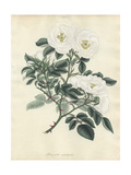 White Rose, Rosa Alba Semi-Duplex Giclee Print by Henry Andrews