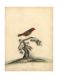 Red Avadavat, Amandava Amandava Giclee Print by William Hayes