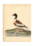 Common Shelduck, Tadorna Tadorna Giclee Print by William Hayes