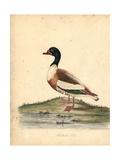 Common Shelduck, Tadorna Tadorna Giclee Print by William Hayes