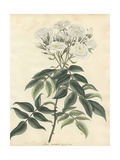 White Musk Rose, Rosa Moschata Var Flore Pleno Giclee Print by Henry Andrews