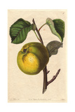 Oslin Apple, Malus Domestica Giclee Print by Augusta Withers