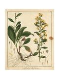 European Goldenrod, Solidago Virgaurea Giclee Print by F. Guimpel