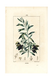 Olive Tree, Olea Europaea Giclée-Druck von Pierre Turpin