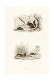 Brown Rat, Red Squirrel, and Wood Mouse Giclee Print by Edouard Travies
