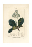Ladenbergia Oblongifolia (Cinchona Magnifolia) Giclée-Druck von Pierre Turpin