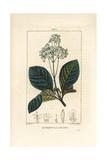 Ladenbergia Oblongifolia (Cinchona Magnifolia) Giclee Print by Pierre Turpin