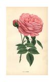 La Reine Rose, Hybrid Giclee Print by Francois Grobon