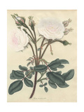White Moss Rose, Rosa Muscosa Alba Giclee Print by Henry Andrews