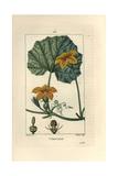 Pumpkin, Cucurbita Maxima, Showing Flower, Leaf, and Tendrils Reproduction procédé giclée par Pierre Turpin