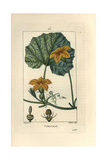 Pumpkin, Cucurbita Maxima, Showing Flower, Leaf, and Tendrils Giclee Print by Pierre Turpin