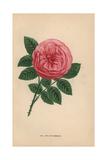 Anna De Diesbach Rose, Hybrid Giclee Print by Francois Grobon