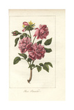 Rose Panachee, Pink and Crimson Rose Giclee Print by Mlle. Prudhomme