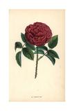 Rose Du Roi, a Hybrid Portland Rose, Rosa Portlandica Giclee Print by Francois Grobon
