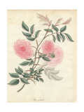 Pink Rose, Rosa Gracilis Giclee Print by Henry Andrews
