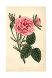 Mossy Hundred-Leaved Rose, Rosa Centifolia Variety Giclee Print by Francois Grobon