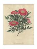 Pink Rose, Rosa Carolina Var Pimpinellifolia Giclee Print by Henry Andrews