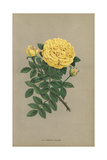 Persian Yellow Rose, Jaune De Perse Giclee Print by Francois Grobon