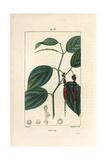 Black Pepper, Piper Nigrum Reproduction procédé giclée par Pierre Turpin