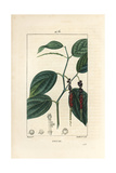 Black Pepper, Piper Nigrum Giclee Print by Pierre Turpin