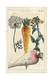 Carrot Flower and Wild Carrot Giclee Print