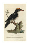 Three Toed Woodpecker, Picoides Tridactylus Giclee Print by George Edwards