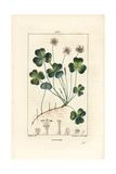 Wood Sorrel, Oxalis Acetosella Giclee Print by Pierre Turpin