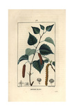 Silver Birch Tree, Betula Pendula, with Leaf, Catkin, and Seed Giclee Print by Pierre Turpin