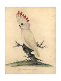 Salmon-Crested or Moluccan Cockatoo, Cacatua Moluccensis Giclee Print by William Hayes