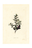 Cape Myrtle or African Boxwood, Myrsine Africana Giclee Print by George Cooke