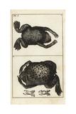 Surinam Toad, Pipa Pipa Giclee Print