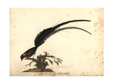 Long-Tailed Paradise Whydah, Vidua Paradisaea, Male Giclee Print by William Hayes